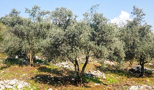 Oliven Herkunft Türkei | Der Olivenbauer